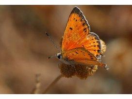 Hatayda 6 yeni kelebek türü gözlendi