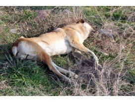 Konyada köpek katliamı