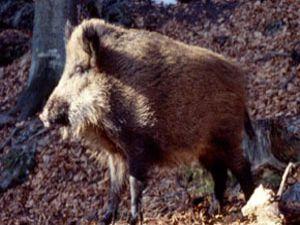 Yaban domuzları tehlike saçıyor