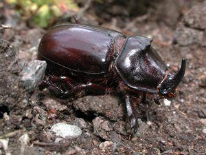 Dünyanın en güçlü böceği