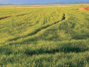 Yaygınlaşırsa Konya tarımında devrim olur!