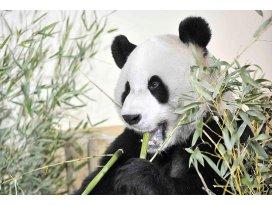 Çinde panda nüfusu artıyor
