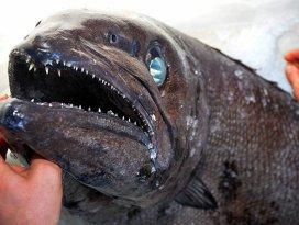 Muğlada yağ balığı yakalandı