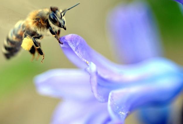 Arı sokması sanıldığı gibi zararlı değil