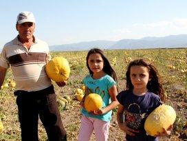 Seydişehir'de kabak üreticisinin yüzü gülüyor