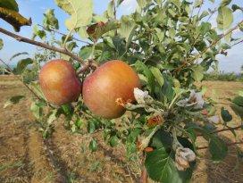 Dalında meyvesi olan elma ağaçları çiçek açtı