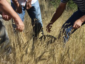 Karapınarda Mera Tipi Çok Yıllık Yem Bitkisi Çeşitlerinin Islahı projesi