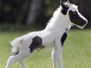 İşte dünyanın en küçük atı