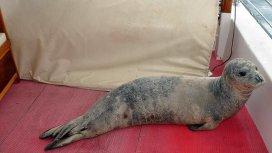 Akdeniz foku tekneye sığındı