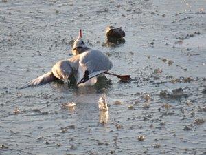 Donan gölde sıkışan martı kurtarıldı
