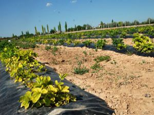 Meramda organik tarım yaygınlaşacak