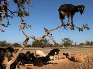 İsrail keçileri kaçırdı!