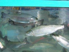 Doğal alabalık av yasağı sona eriyor