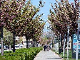 Konyada rengarenk sakuralar baharı yaşatıyor