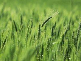 Türkiyede GDOlu buğday yok