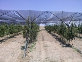 Güneş enerjili destekli organik elmalar yolda