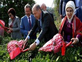 Cumhurbaşkanı Erdoğan Rizede çay hasadı yaptı