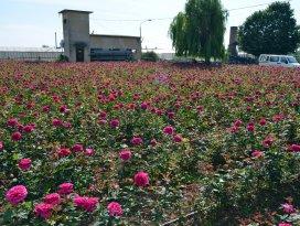 Konya'da lavanta ve gül üretimi artırılacak