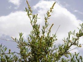 Karapınar erozyonla mücadele başarıyı o bitkiye borçlu