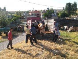 Seydişehirde köylüye süt ineği dağıtıldı