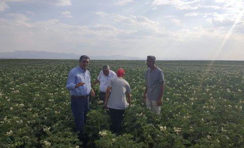 Konya Şeker yerli patates tohumu üretti