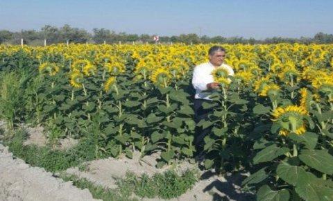 Konya Şekerden ayçiçeği üreticilerini sevindiren haber