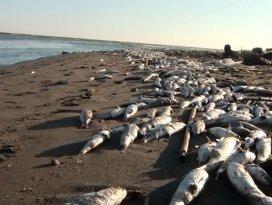 Tarsus sahillerinde binlerce balık öldü