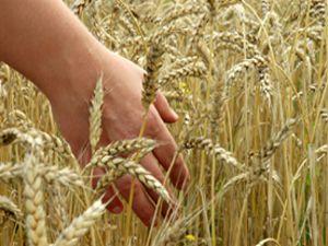 Bu yıl Konyanın buğdayı kaliteli olacak
