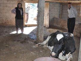 2 gün yol açıp ineği kurtardılar