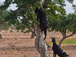 Keçiler ormana çok büyük zarar veriyor