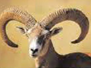 Çevre ve Orman Müdürlüğü nden yaban koyunlarının sayımı