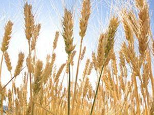 Yağışlar buğdayın kalitesini düşürdü