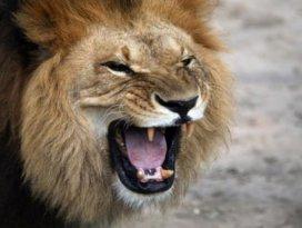 Aslanlar avcıyı yedi! Sadece kafası kaldı