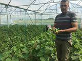 Beyşehirdeki seralarda ilk hasat sevinci