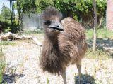 Karatay hayvanat bahçesinin yeni üyeleri emu kuşları