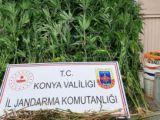 Beyşehirde 210 kök Hint keneviri ele geçirildi