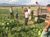 Seydişehirde karpuz hasatına başlandı