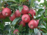 En çok elma ağacı Karaman'da! Konya ise...