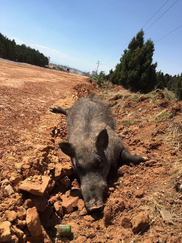 konyada-5-domuz-olusu-bulundu-003.jpg